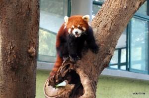 """Mein erster Panda war genaugenommen gar keiner: Der """"rote Panda"""" ist mit dem Stinktier näher verwandt als mit dem eigentlichen Pandabären."""