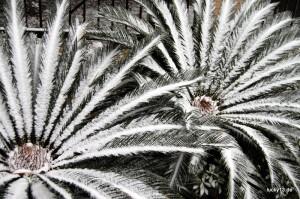 Bizarres Bild: Diese Palmen dürften vom weissen Glück auch überrascht worden sein