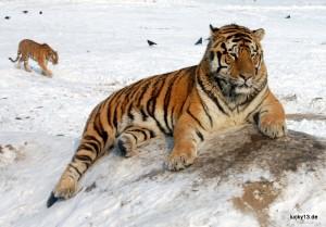 In (fast) freier Wildbahn: Aufzuchtstation für Sibirische Tiger