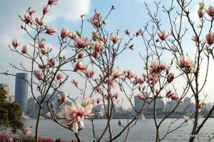 Frühling in Shanghai: Magnolien am Ufer des Hangpus